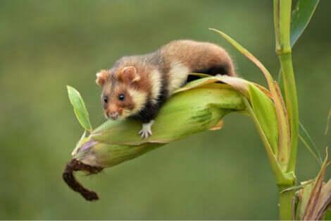 La perdita del suo habitat naturale è il fattore più importante che sta determinando la scomparsa del criceto comune.