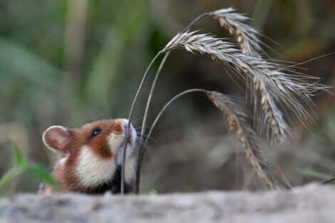La scomparsa del criceto comune è causata anche dalla riduzione della sua natalità.