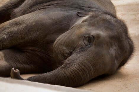 L'immobilizzazione degli animali è uno dei problemi che devono risolvere le installazioni speciali per elefanti.