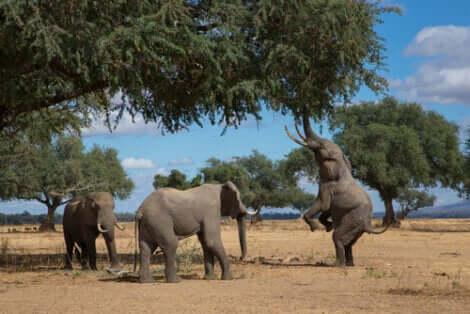 Un elefante che si solleva sulle zampe posteriori può sollevarsi di diversi metri.