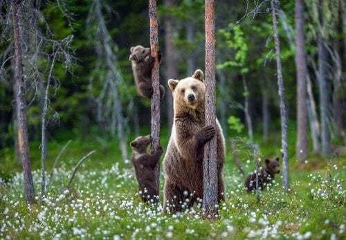Famiglia di orsi in un bosco.