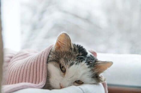 Gatto malato di polmonite sotto a una coperta.