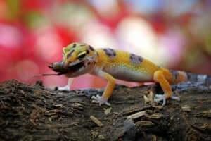 Piccolo geco leopardo con insetto in bocca.