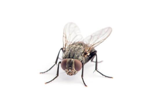 Il ciclo di vita della mosca domestica