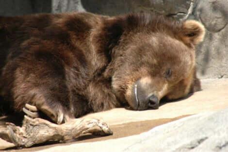 Gli orsi cadono in letargo per affrontare il periodo invernale.