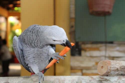 Pappagallo grigio che mangia una carota.