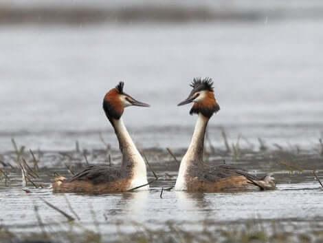 Una coppia di anatre in acqua si guarda.