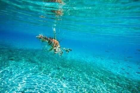 Pesce scorpione nuota nelle acque del Mediterraneo.