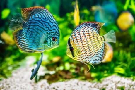 Il pH ideale varia in funzione delle specie animali e vegetali che vivono nell'acquario. Due pesci si incontrano in un acquario.