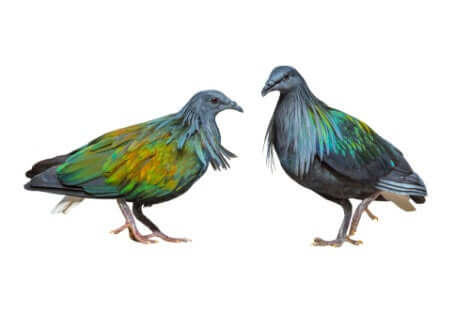 Due esemplari di piccioni delle Nicobare.