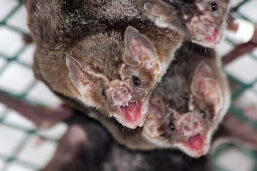 I pipistrelli si nutrono di sangue.