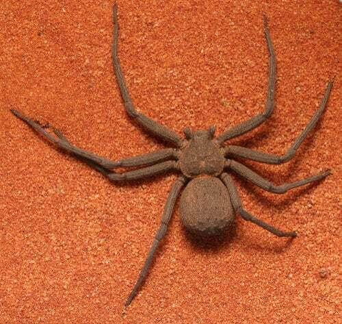 Un esemplare di ragno sicario.