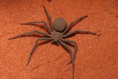 Ragno sicario: è davvero una specie letale?