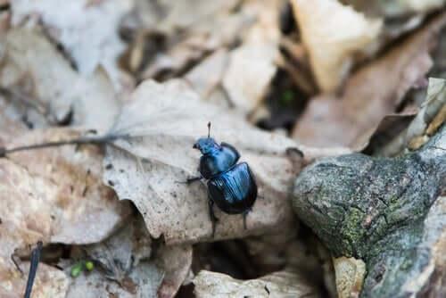 Comportamento dello scarabeo stercoraro.