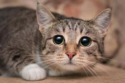 Sguardo di un gatto con pupille dilatate.