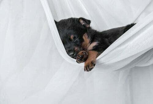 Cane che dorme sul lenzuolo. Grattare la cuccia.