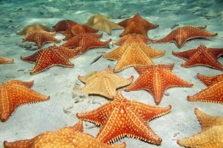 L'ermafroditismo rappresenta un grande vantaggio per la sopravvivenza delle stelle marine.