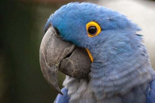 Ara selvatici: ara azzurro con occhio giallo.