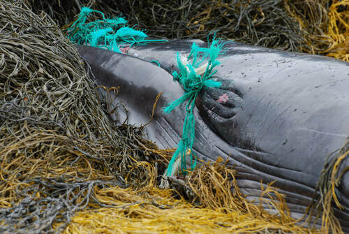 Balena morta.
