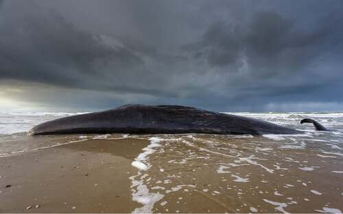 Balena spiaggiata.
