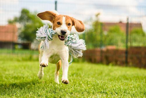 Beagle che corre con un giocattolo in bocca, razza che tende a scappare.