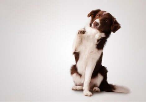 I cani destrorsi vengono impiegati per lo svolgimento di un gran numero di funzioni.
