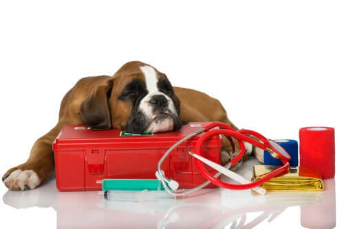 Setticemia nei cani: sintomi e trattamenti