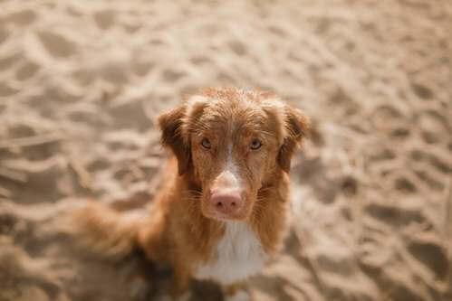 Lupus nei cani: cause e sintomi