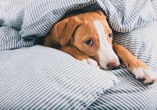 Cane con cimurro sotto una coperta.