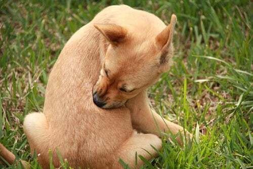Cane che ha prurito.