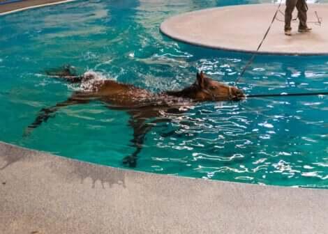 Le piscine adattate per la fisioterapia dei grandi animali è un'ottima risorsa per il trattamento della tendinite nei cavalli da corsa.
