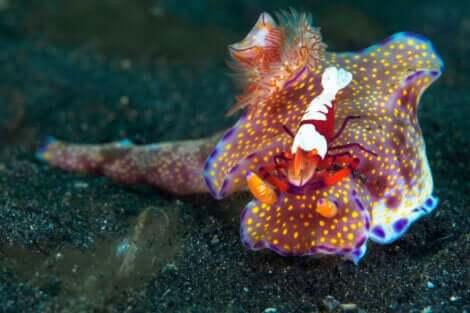 Esemplare di nudibranchio che vive in simbiosi con gambero marino.