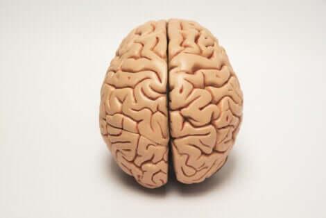 È l'asimmetria cerebrale a determinare se gli animali sono destrorsi o mancini.
