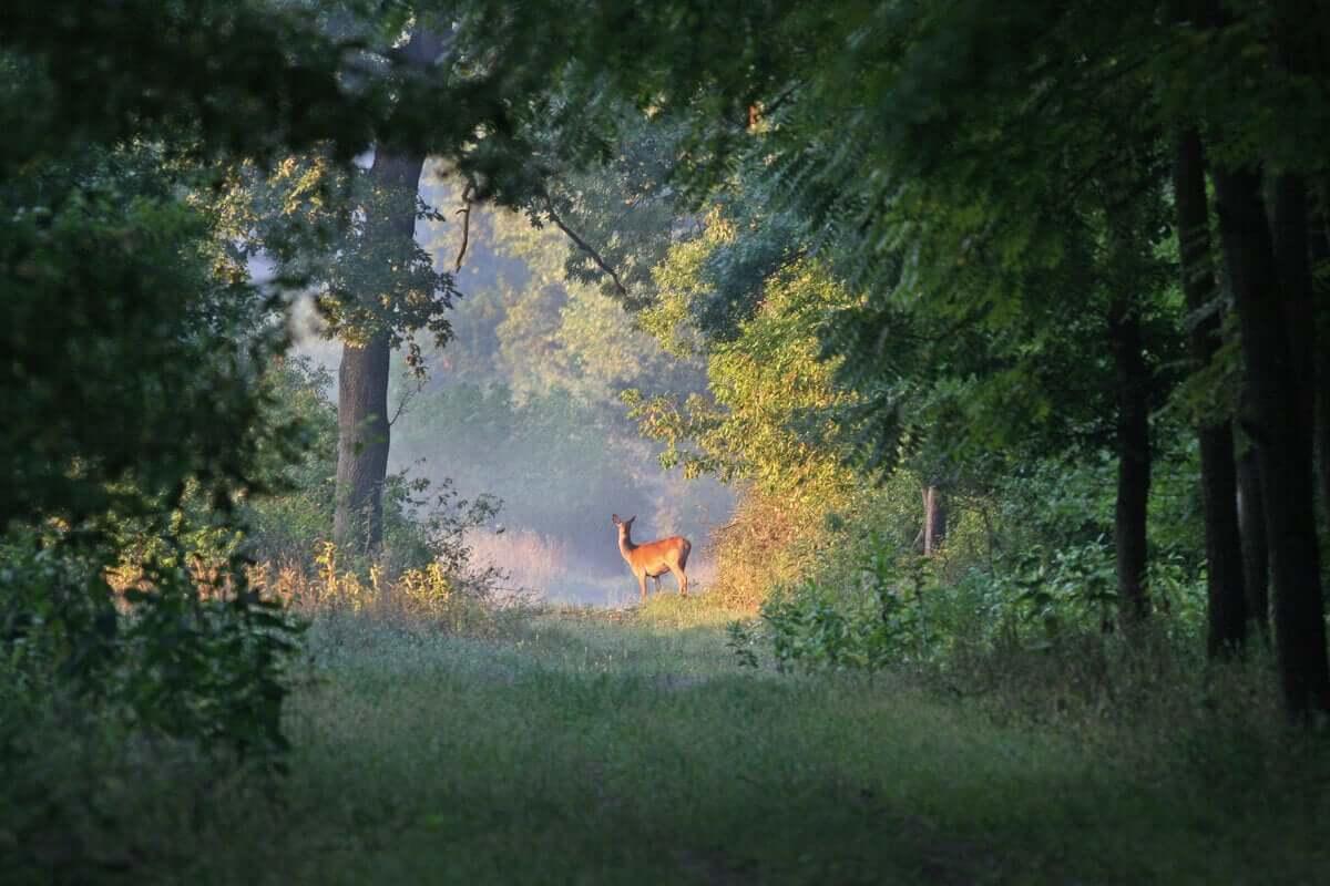 Cervo nel bosco.