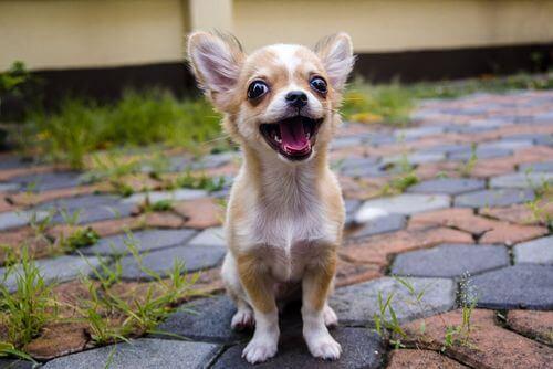 Chihuahua che sorride, ë tra le razze di cani che tendono a scappare.