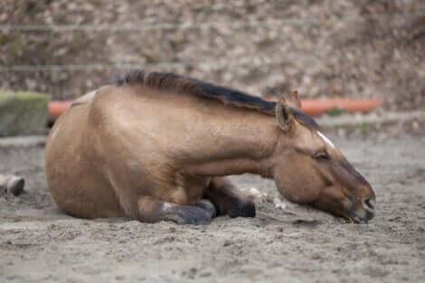 Cavallo a terra soffre a causa delle coliche.