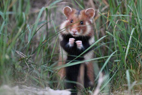 Il criceto comune: un mammifero in grave pericolo