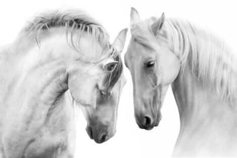 Due cavalli bianchi di profilo con le teste vicine.