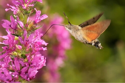 La farfalla colibrì.
