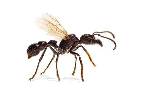 La formica proiettile: quanto è pericolosa?