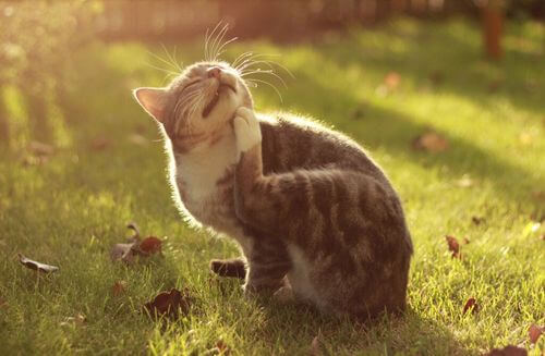 Dermatite atopica in cani e gatti: sintomi e cura