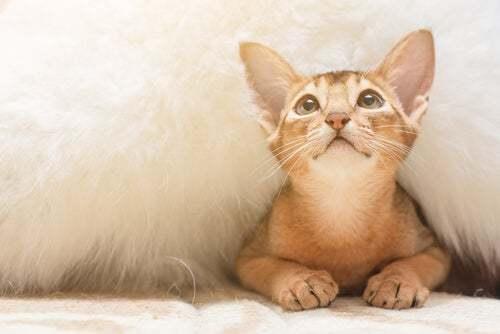 Gatto nascosto sotto un tappeto.