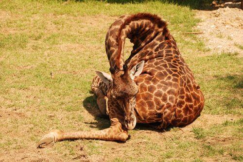 Perché le giraffe dormono poco e in piedi?