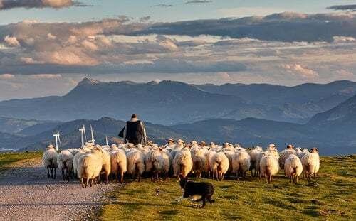 Gregge di pecore che pascolano.