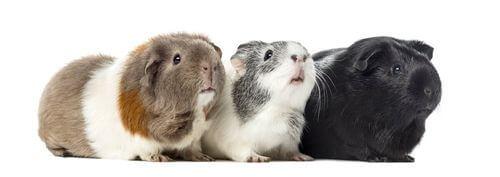 Gruppo di porcellini d'India.