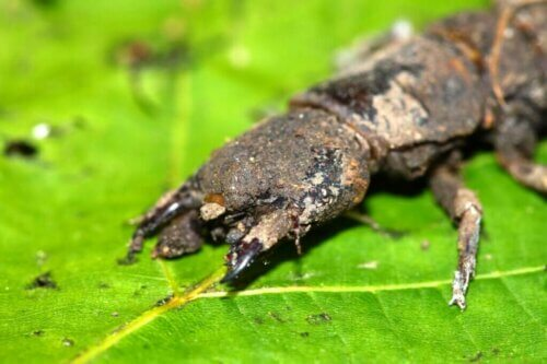 Coridalidi, insetti inoffensivi ma dall'aspetto minaccioso