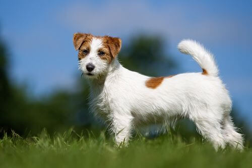 Jack Russel Terrier e la sua tendenza a scappare.