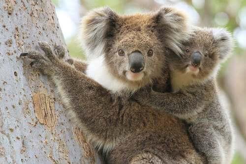Koala con cucciolo su un albero.