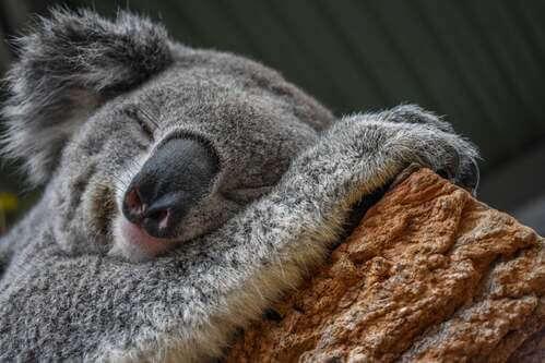 Il koala, un marsupiale che si adatta all'ambiente