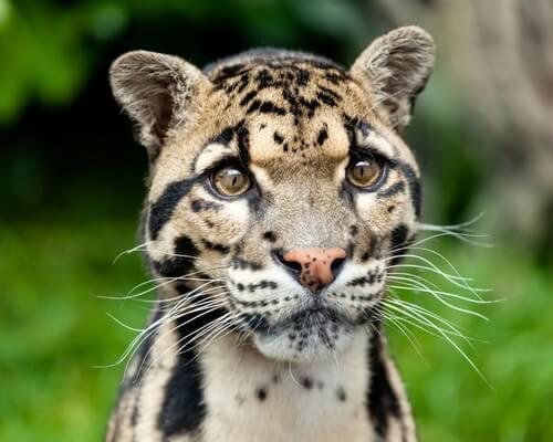 5 felini selvatici poco conosciuti ma davvero stupendi